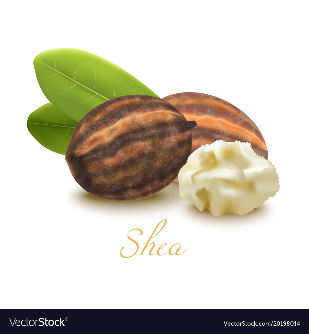 Shea butter nuts and leaves in realistic style