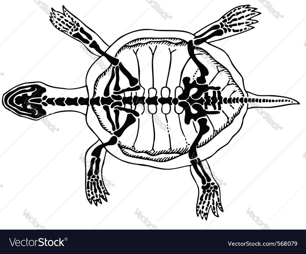 Turtle skeleton Royalty Free Vector Image - VectorStock