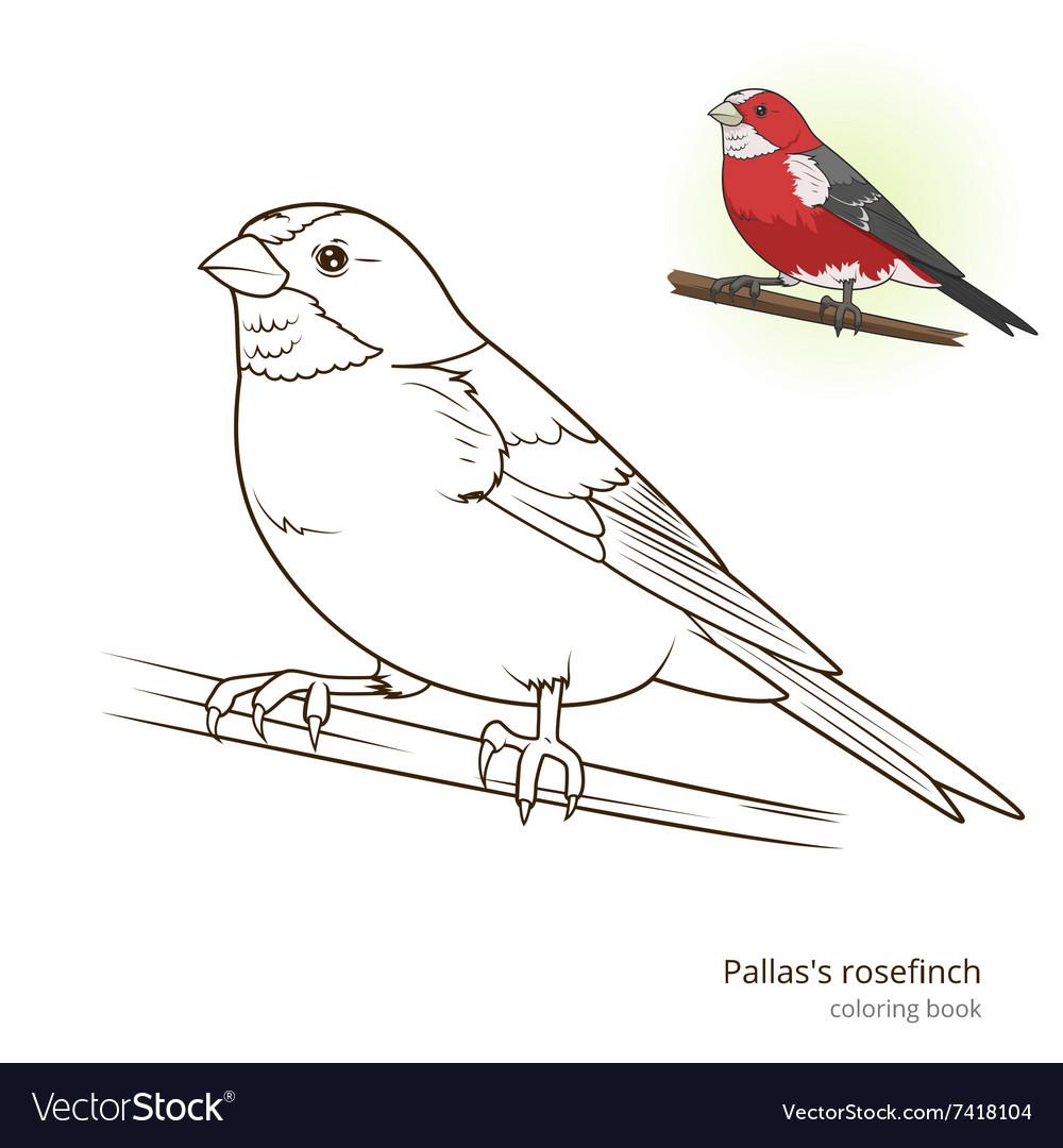 - Pallas Rosefinch Color Book Royalty Free Vector Image