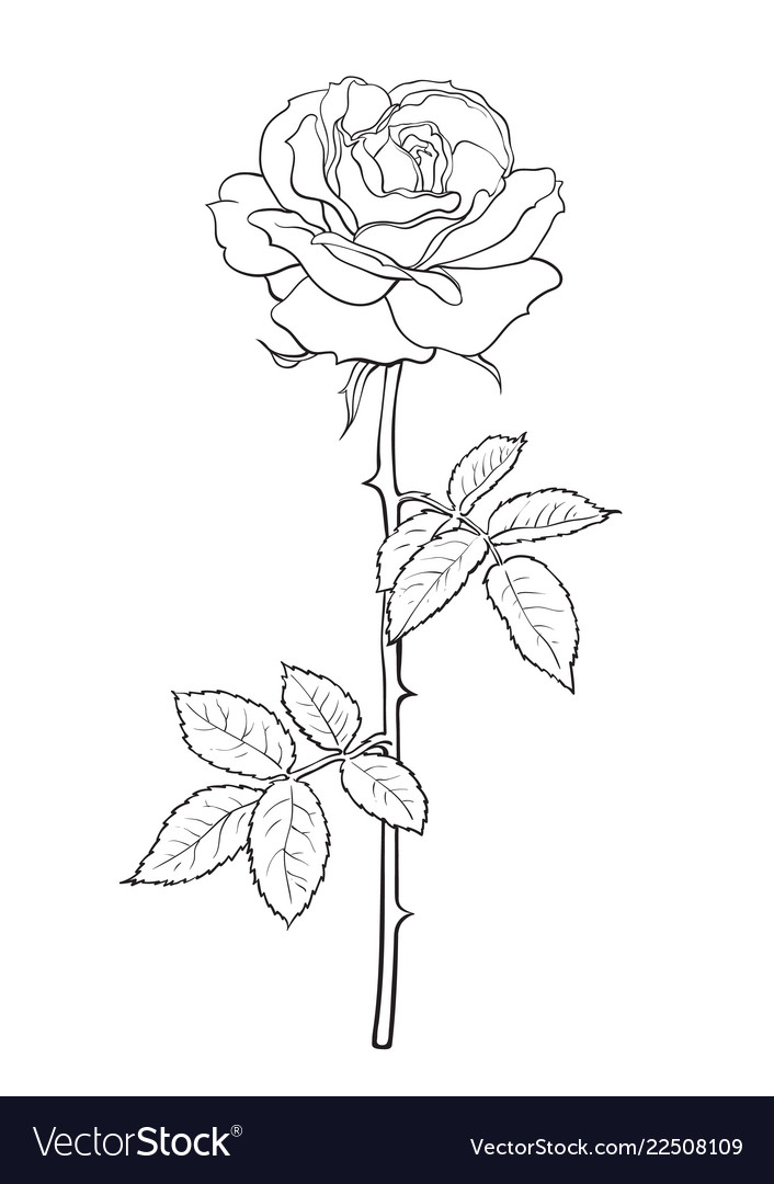 Black and white rose flower with leaves and stem