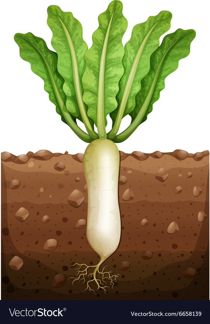 radish plant under the ground royalty free vector image. Black Bedroom Furniture Sets. Home Design Ideas