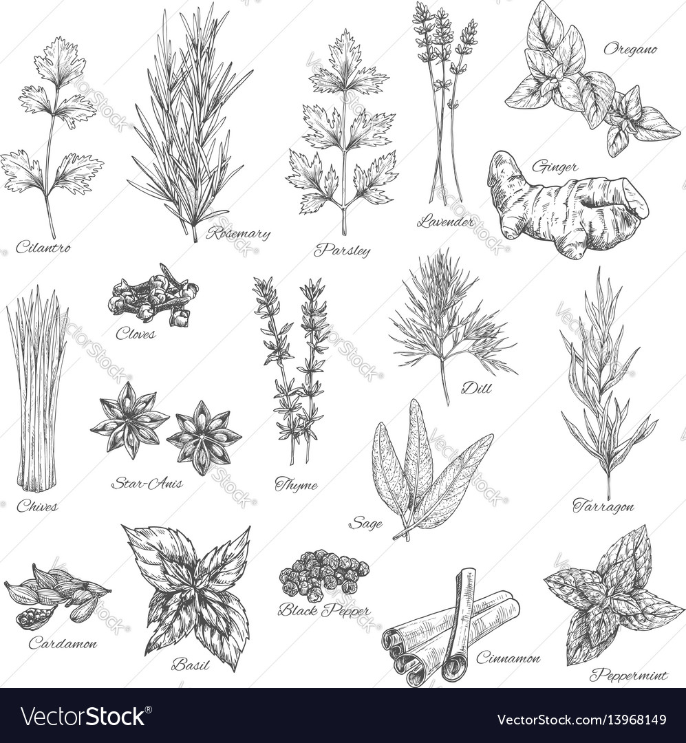 Spices and herbs sketch icons vector image