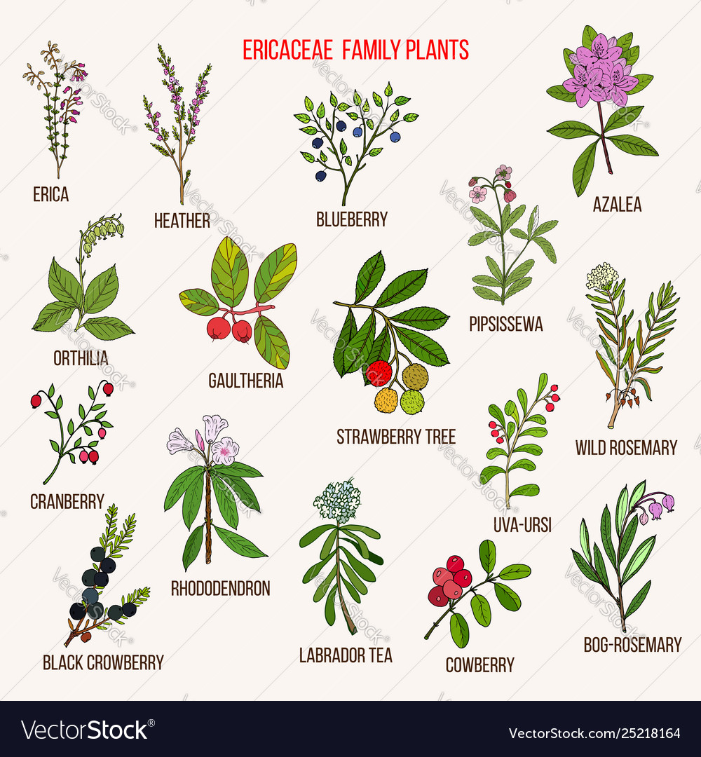 Ericaceae Or Heather Family Flowering Plants Vector Image