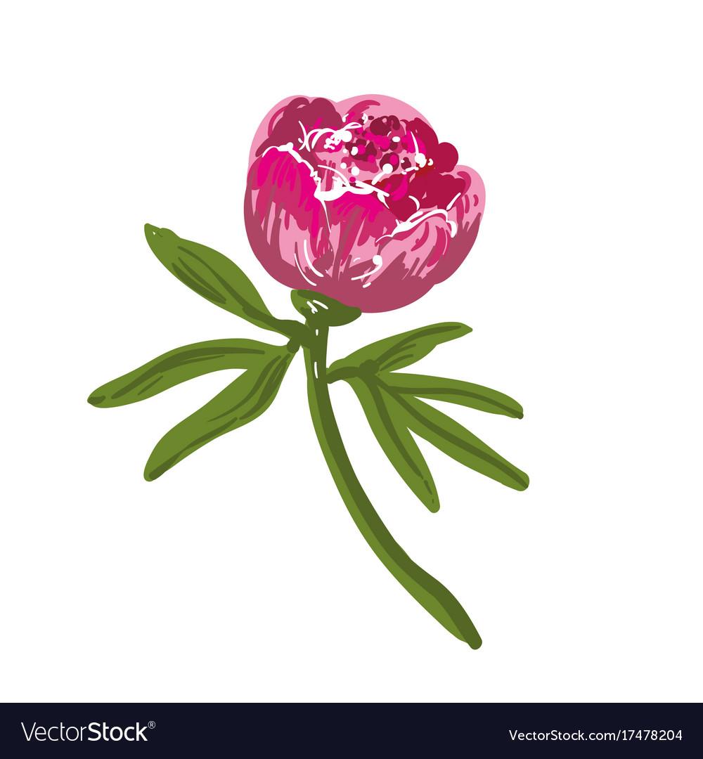 The single flowering bright pink peony