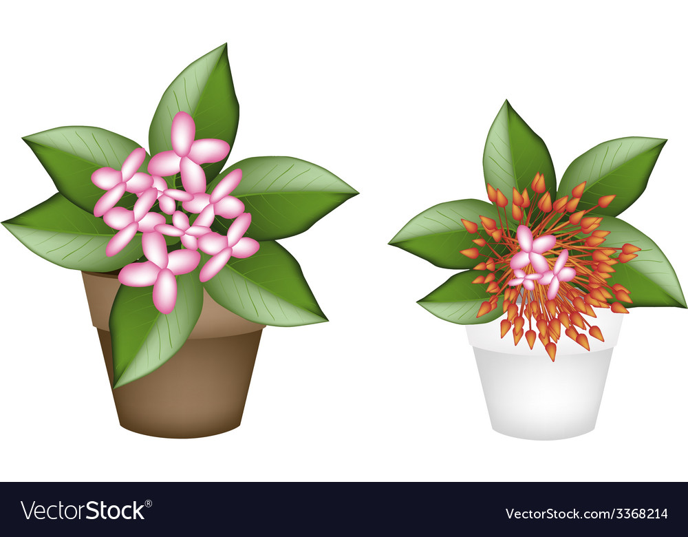 Fresh red and pink ixora in flower pots royalty free vector fresh red and pink ixora in flower pots vector image mightylinksfo