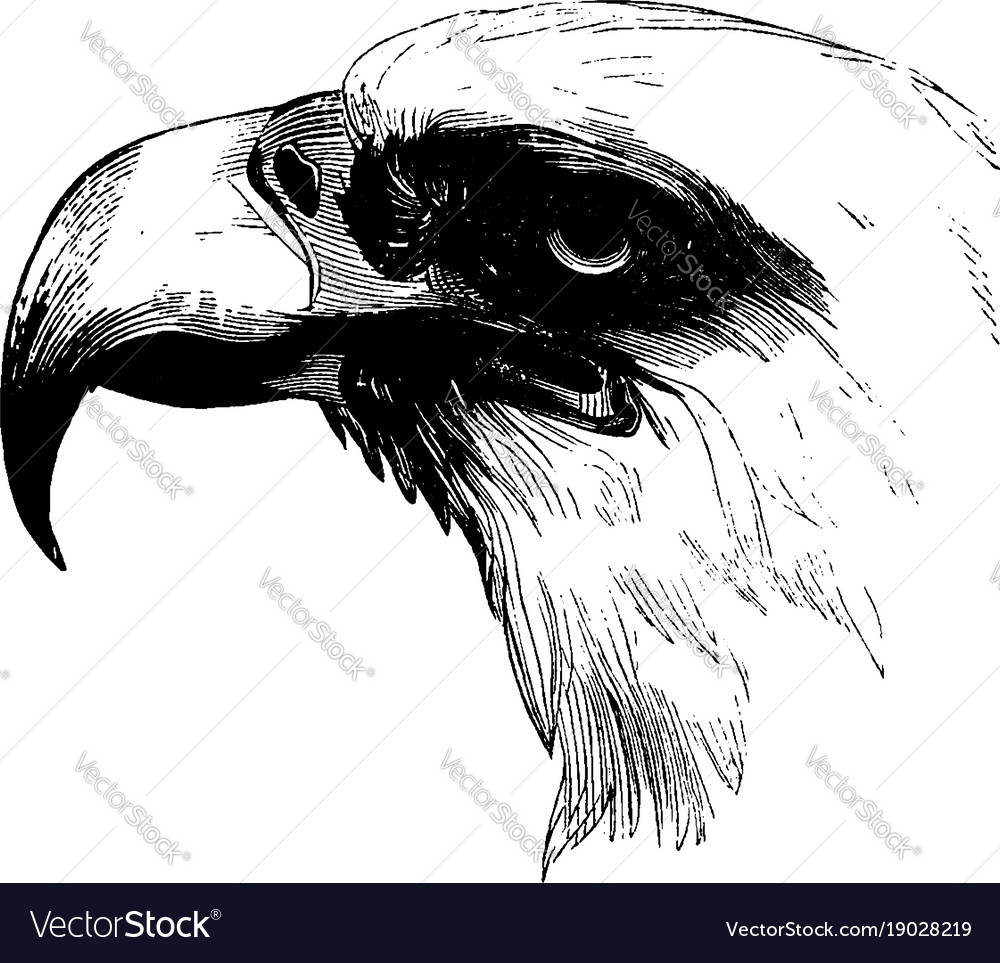 Strange Head Of A Bald Eagle Vintage Royalty Free Vector Image Wiring Digital Resources Remcakbiperorg