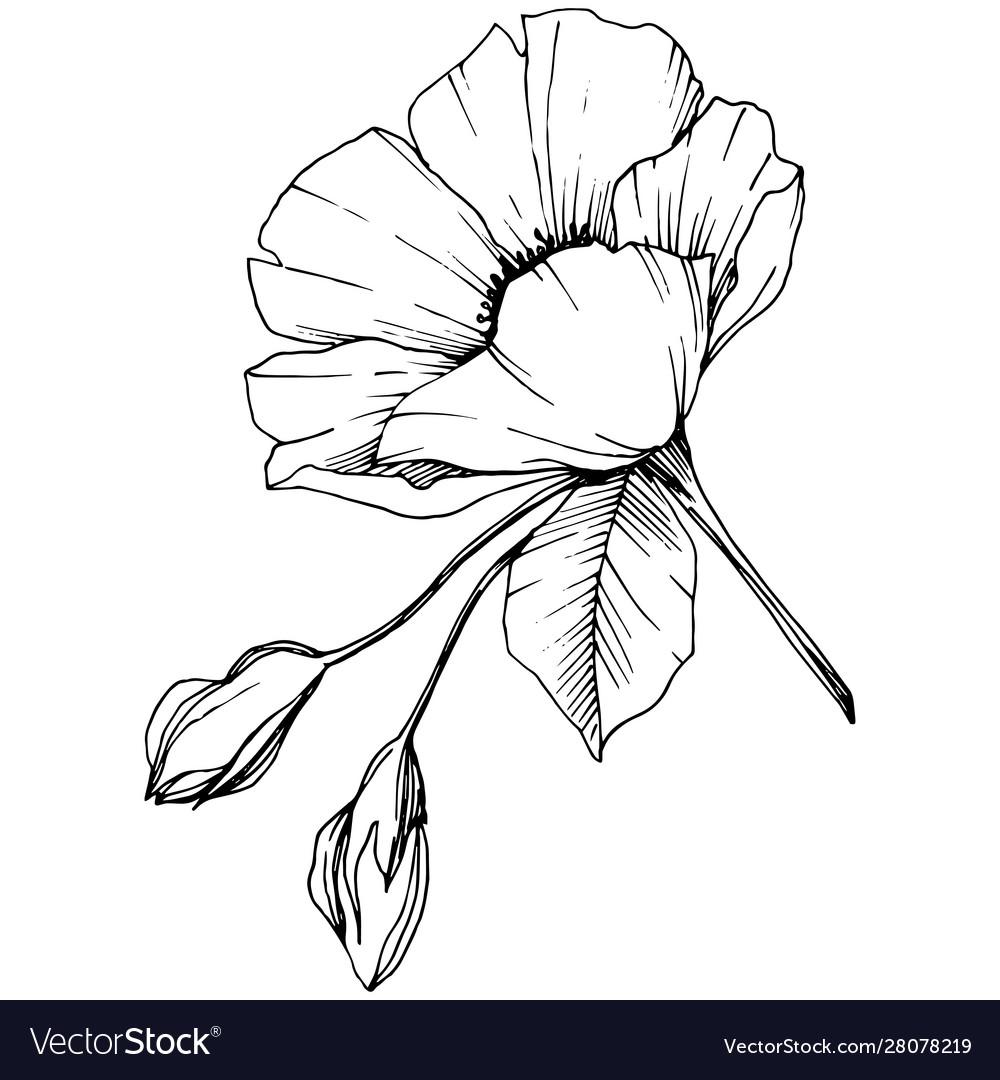 Rosa canina flower black and white