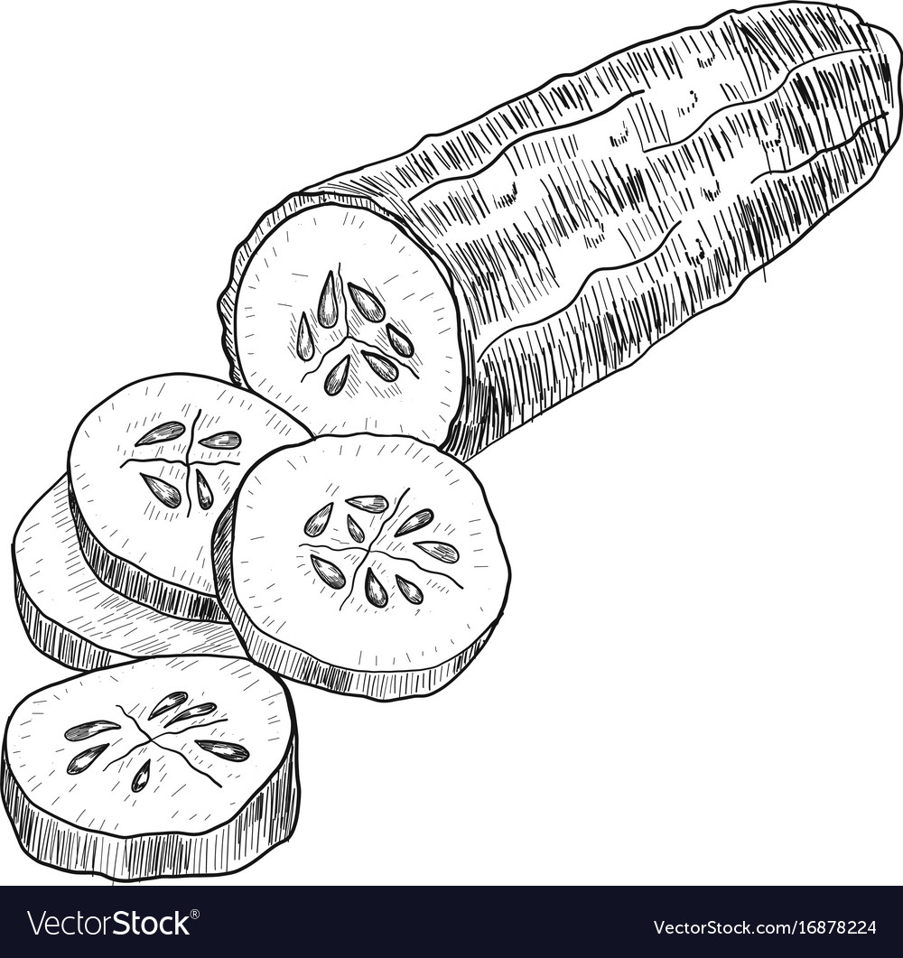 Cucumber hand drawn isolated cucumber