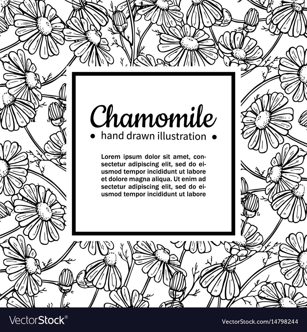 Chamomile drawing frame isolated daisy