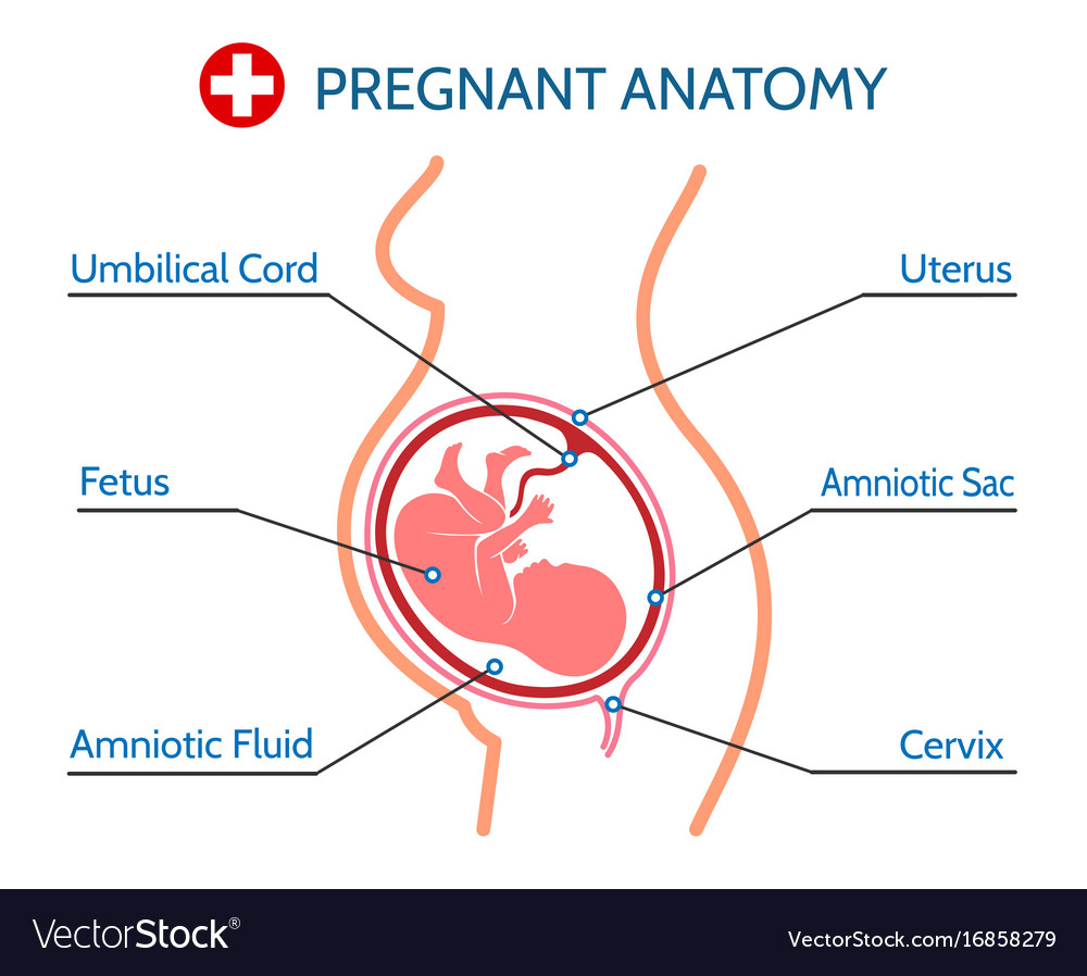 Pregnancy Anatomy Medical Royalty Free Vector Image