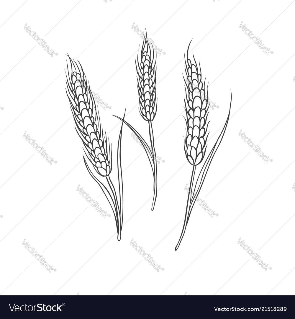 Wheaten spike cereal crop black sketch