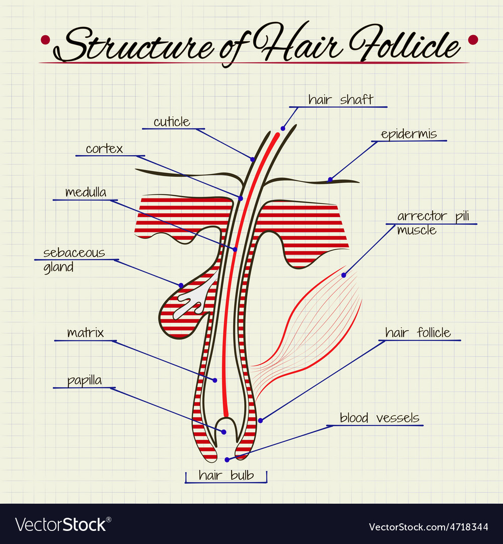 Structure of human hair vector image