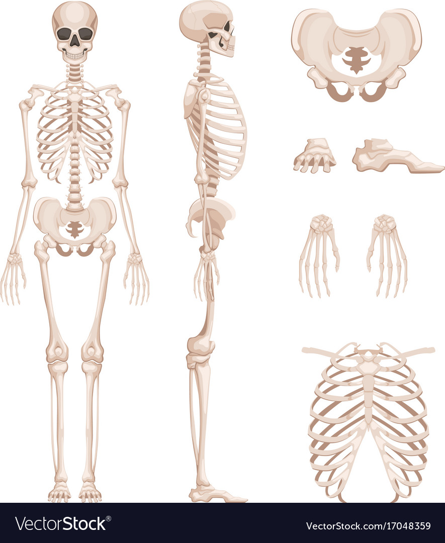 Human skeleton in different