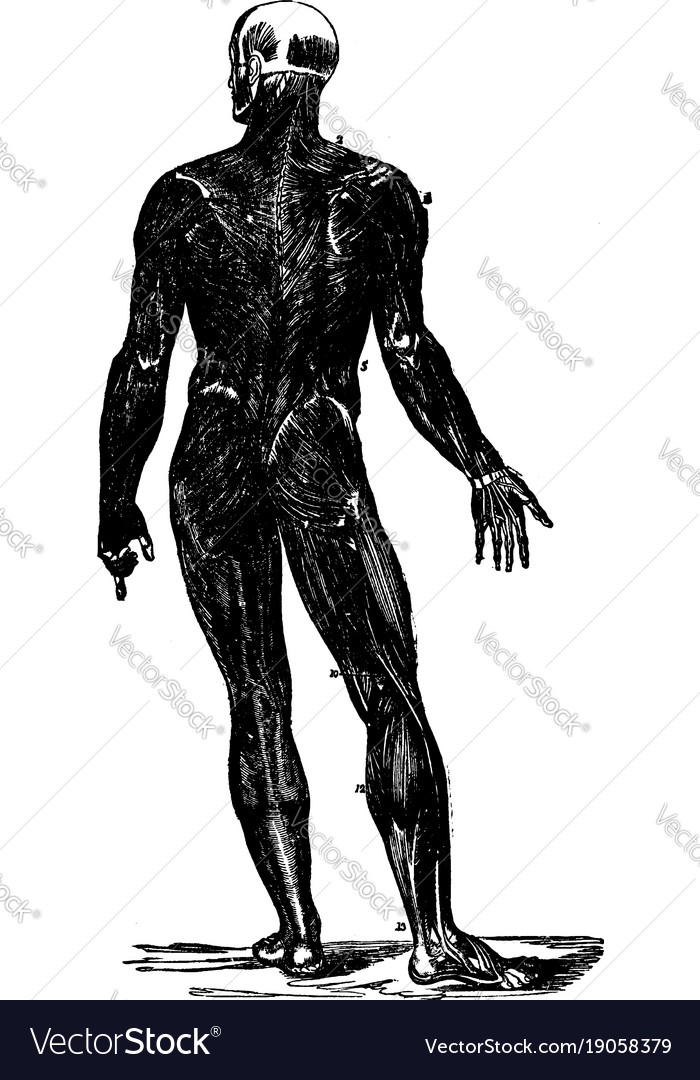 Back view of the muscles of the body vintage Vector Image