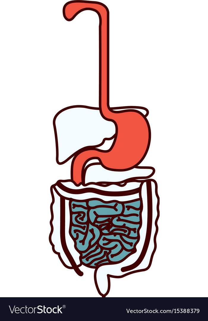 Color sections silhouette human digestive system Vector Image