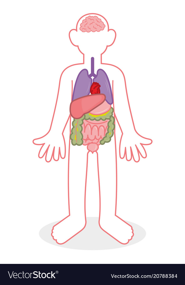 People internal organs Royalty Free Vector Image