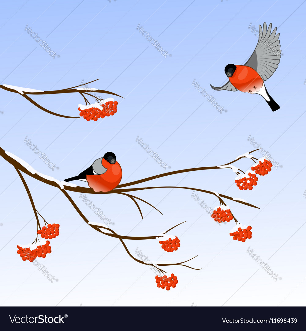 Bullfinch Birds on a Rowan Tree Branch in winter vector image