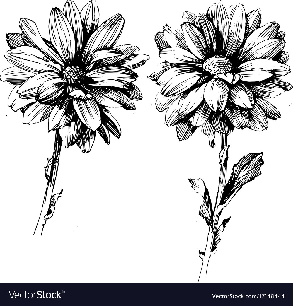Rose Ink Drawing Flowers Royalty Free Vector Image