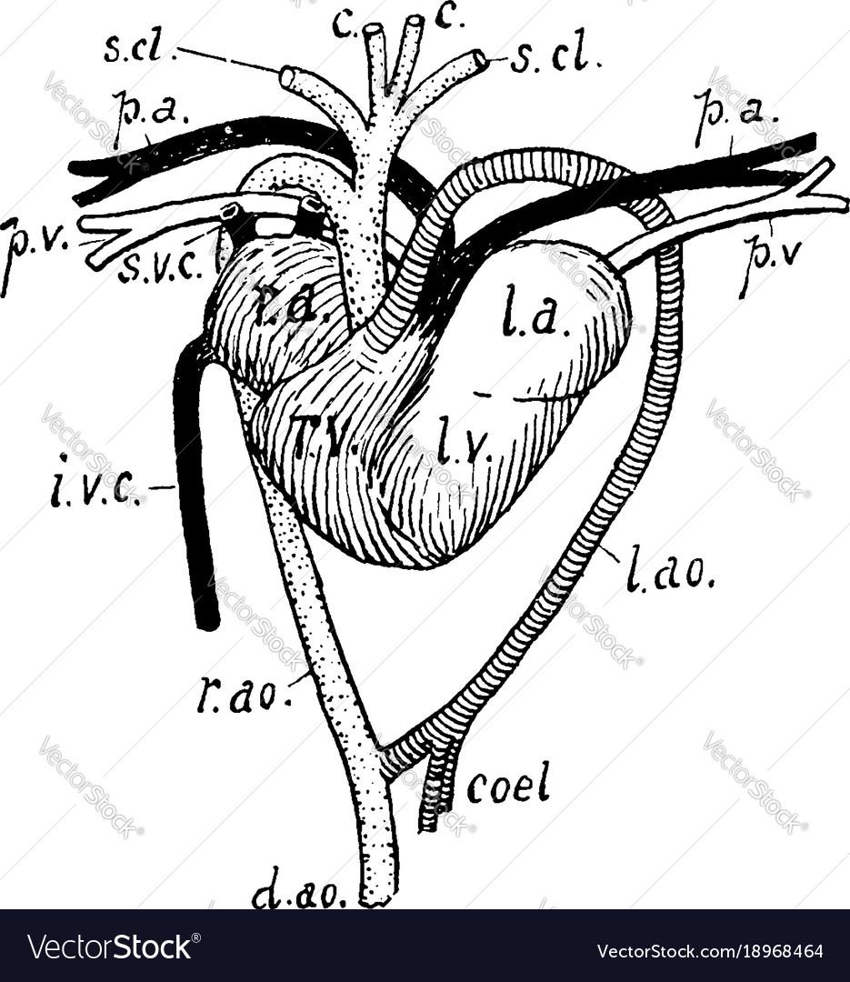 Tortoise Heart Vintage Royalty Free Vector Image