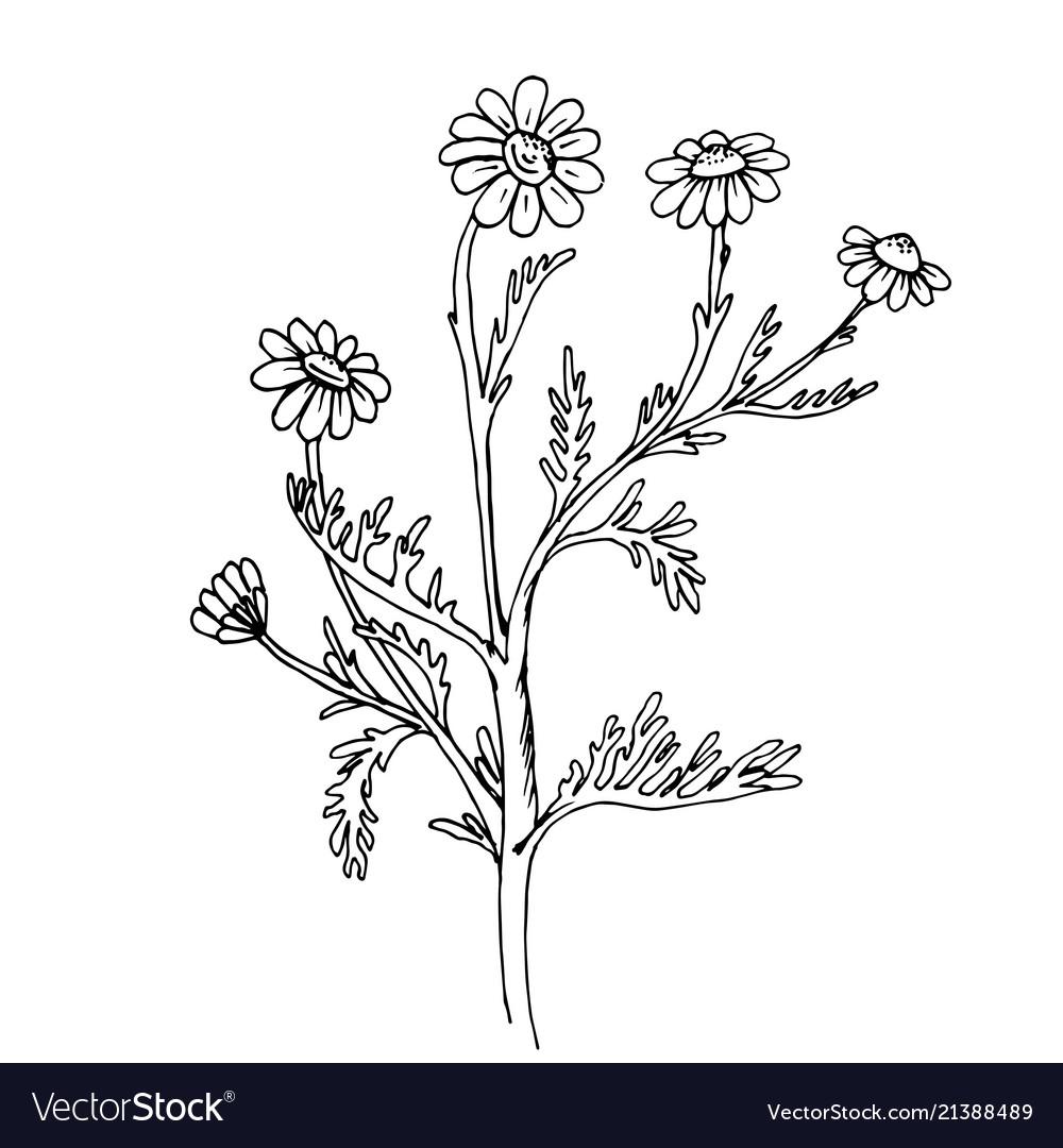 Doodle chamomile medicinal plant black outline