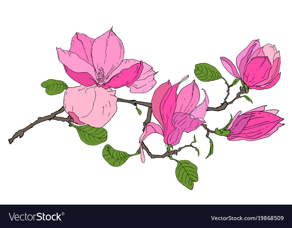 Branch With Magnolia Flowers Royalty Free Vector Image