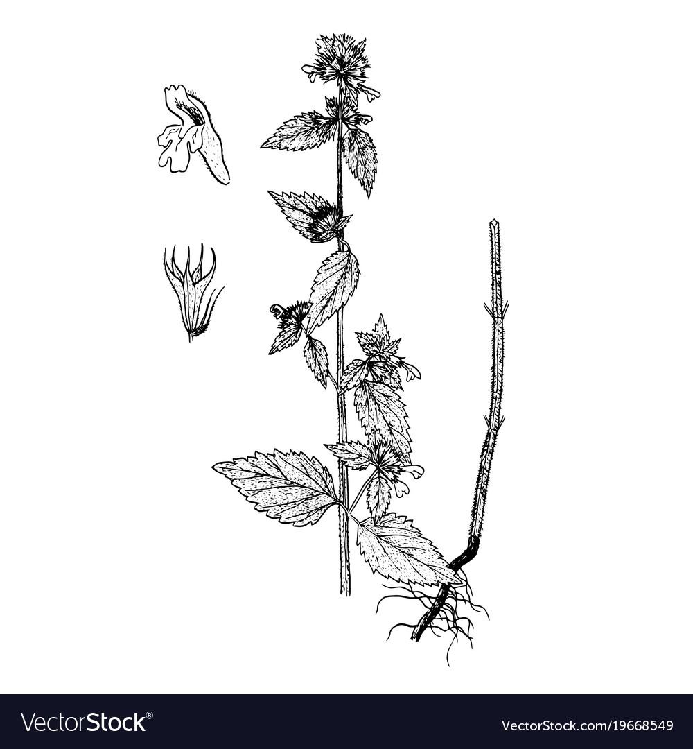 Ballota nigra gravure vector image