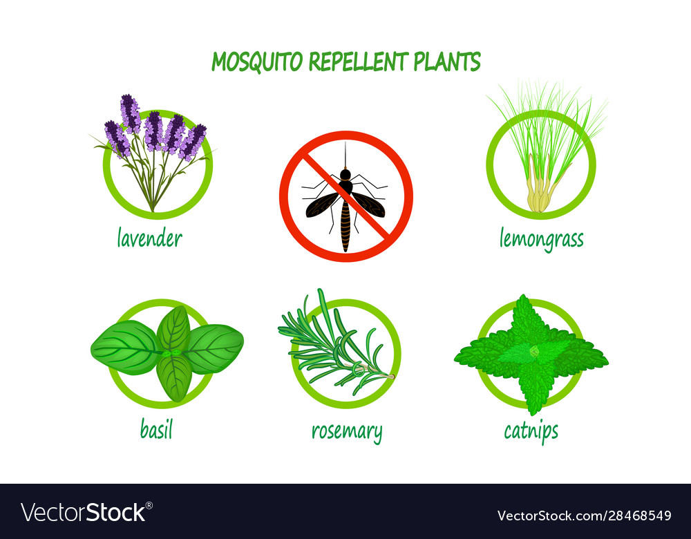 Mosquito Repellent Plants Infographic Isolated Vector Image