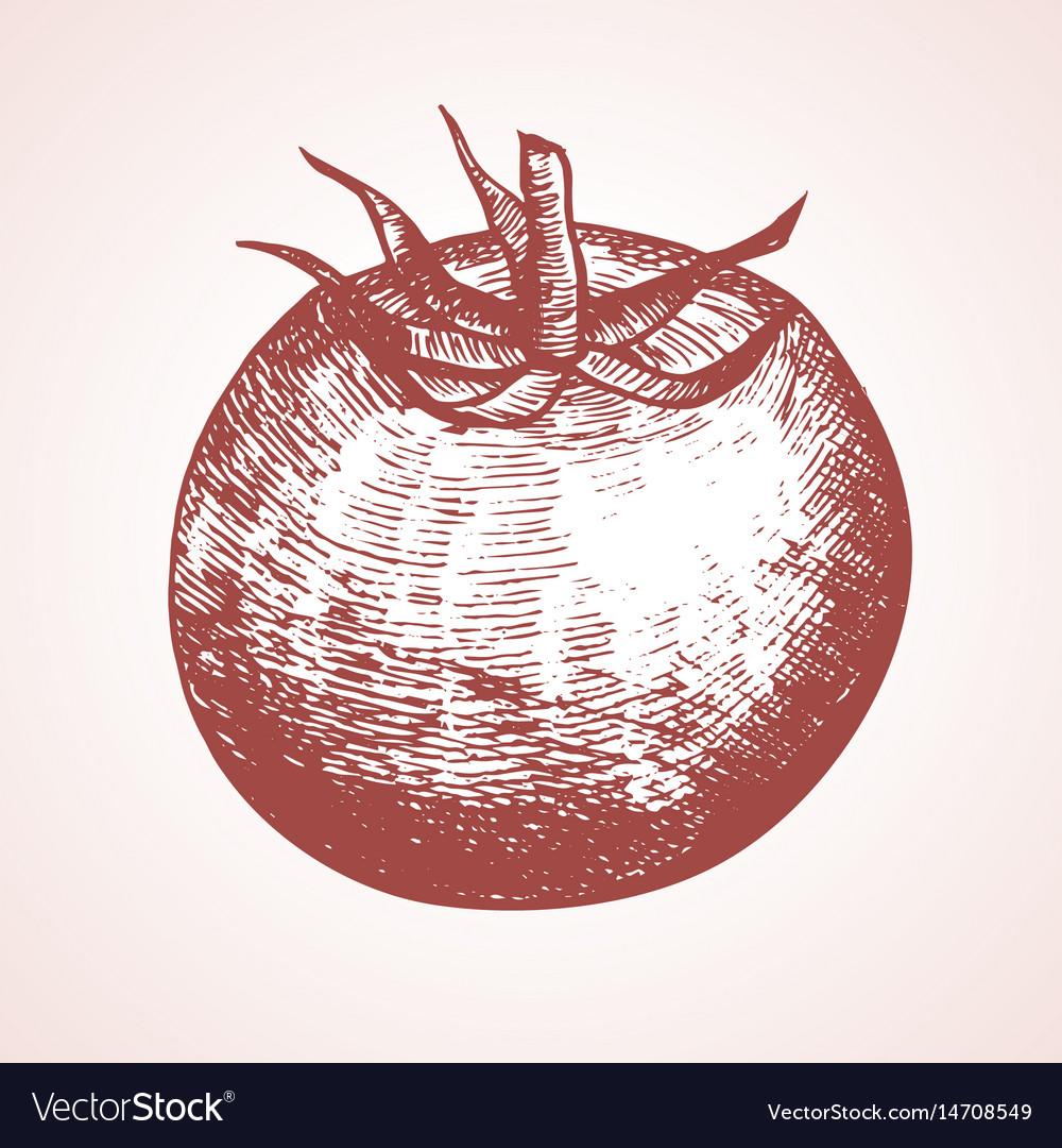 Tomato hand draw sketch