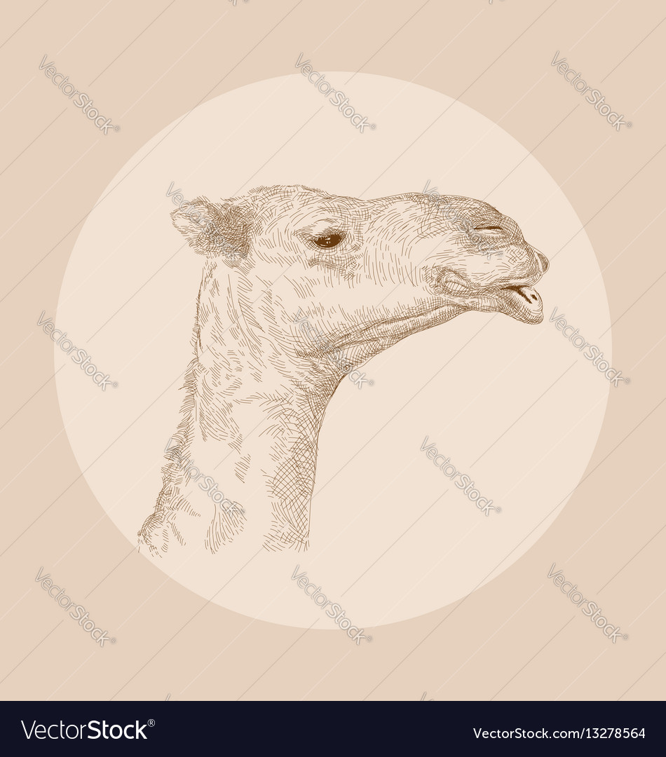 Hand drawn camel head vector image