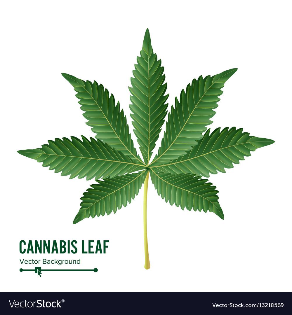 Cannabis leaf green cannabis cannabis