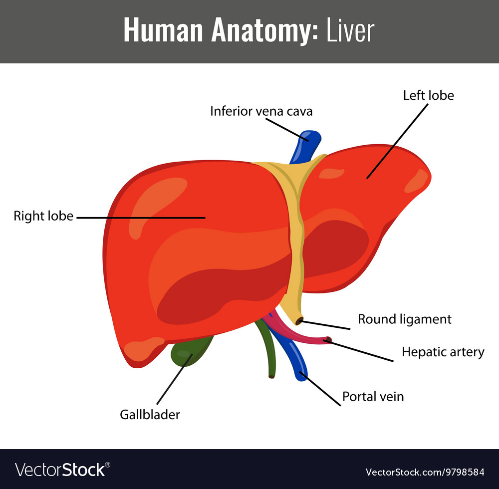 Human Liver detailed anatomy Medical Royalty Free Vector