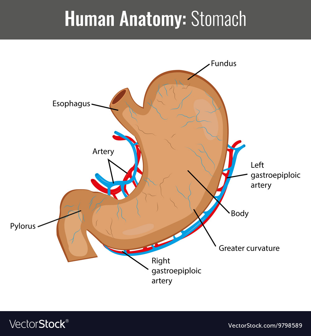 Human Stomach detailed anatomy Medical Royalty Free Vector