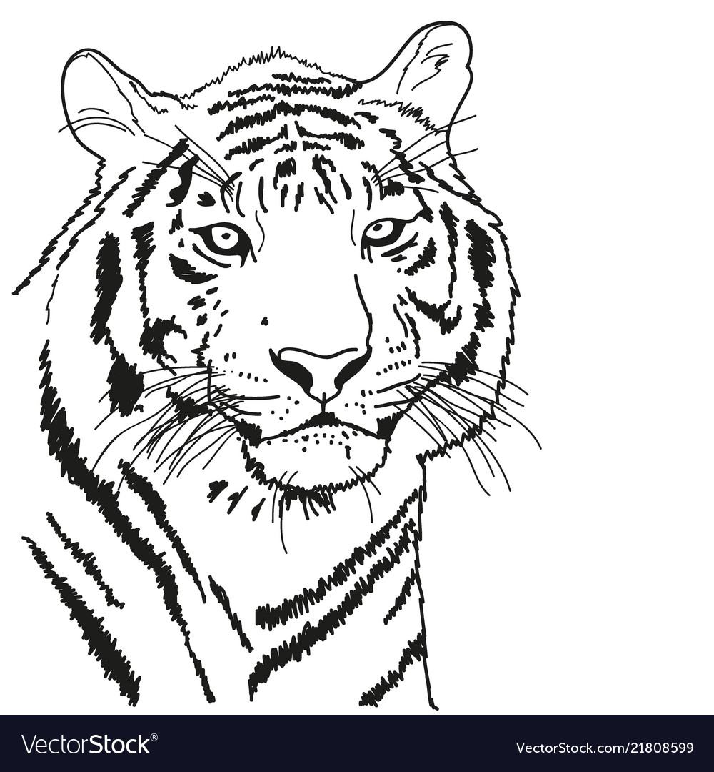 Tiger drawn with a black outline coloring