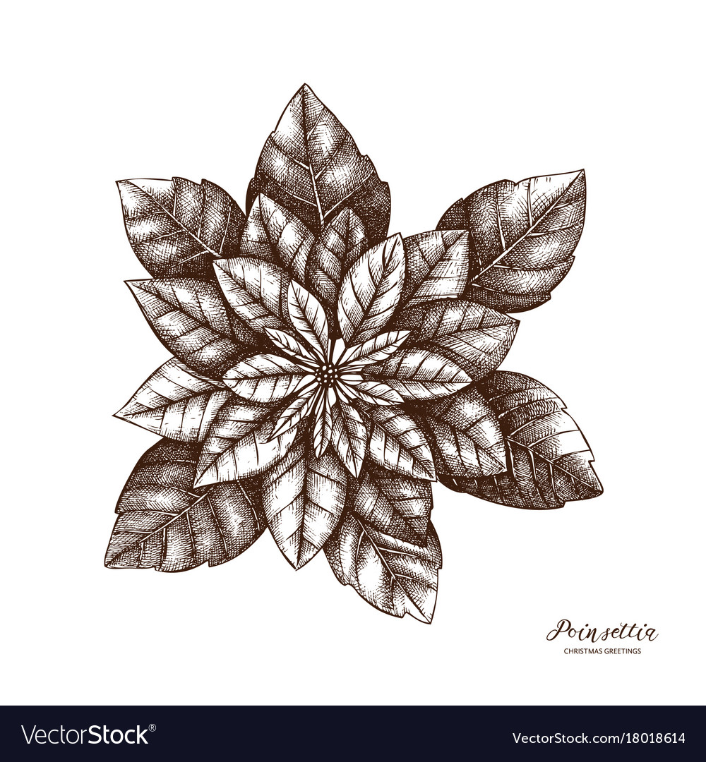 Hand drawn poinsettia