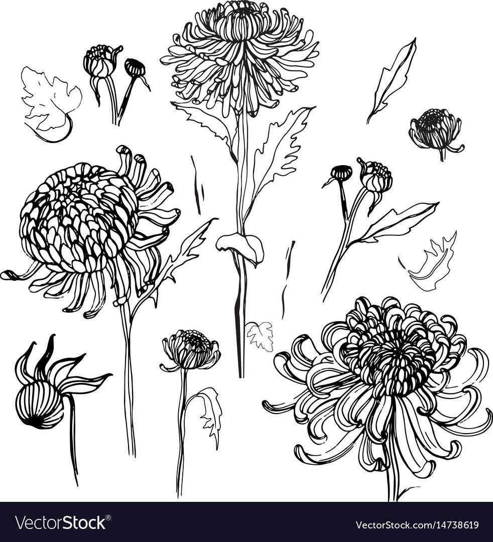 Japanese chrysanthemum set collection