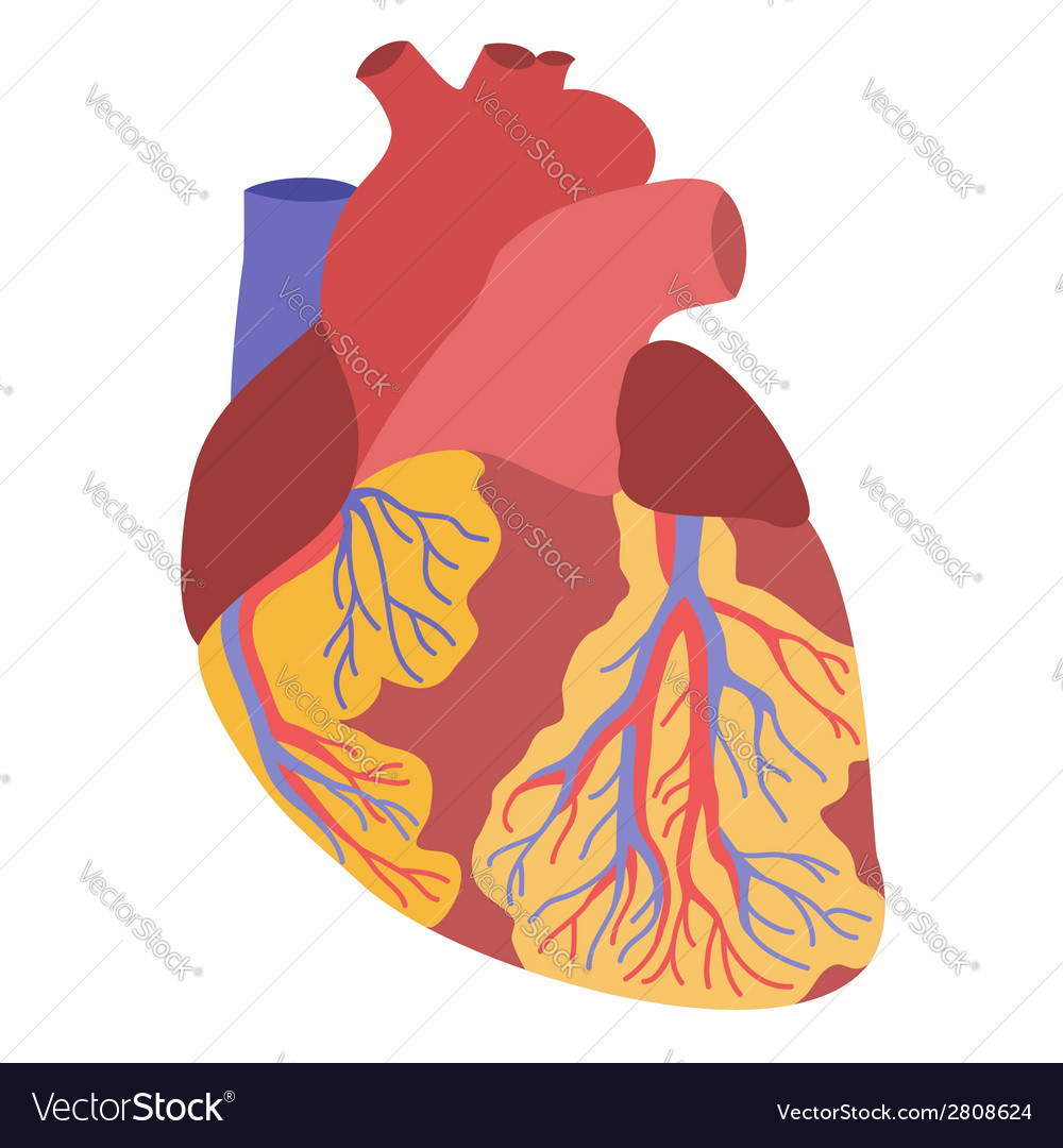 Human heart anatomy Royalty Free Vector Image - VectorStock