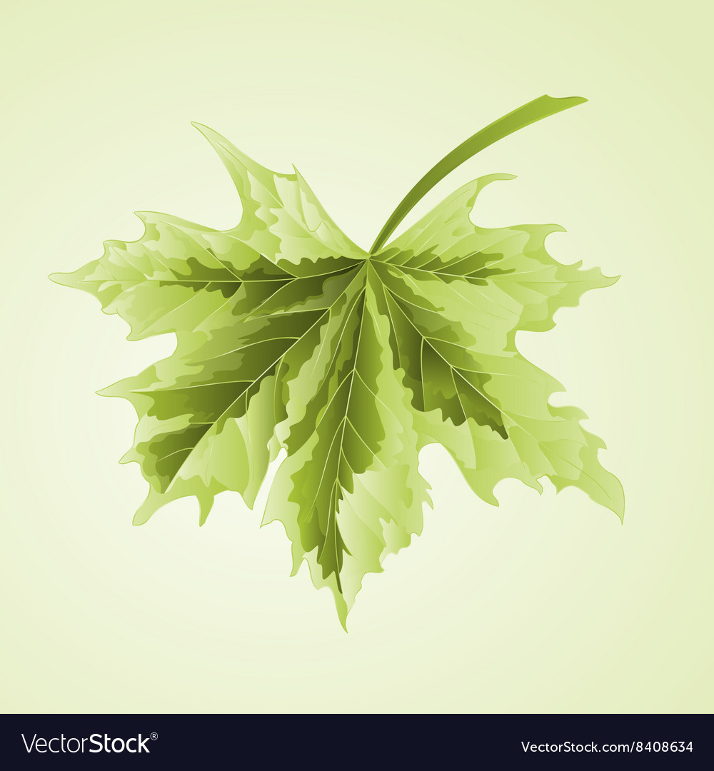 Maple Leaf Acer Platanoides Drummondii Royalty Free Vector