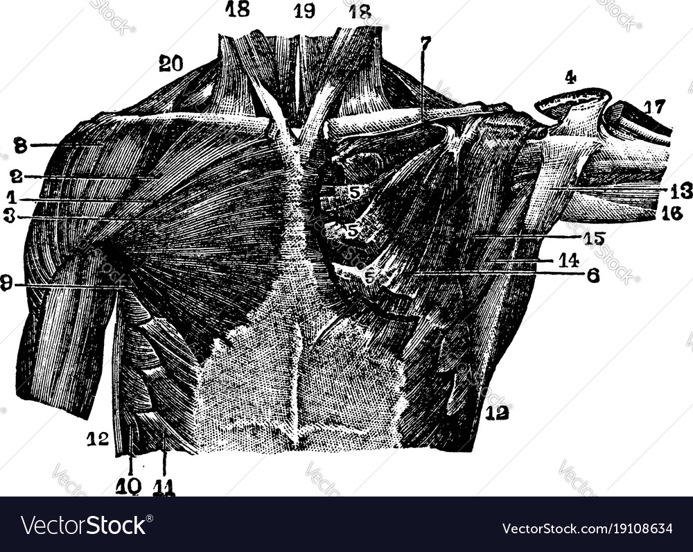 Muscles of the thoracic region vintage Royalty Free Vector