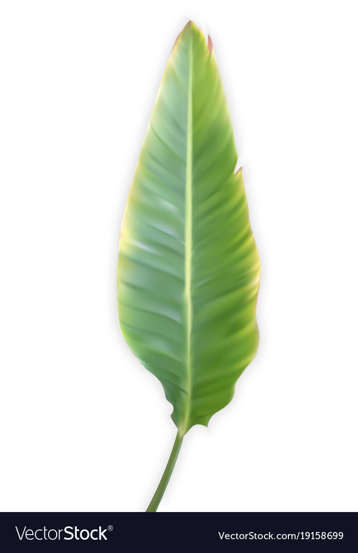 Naturalistic colorful leaf of banana palm