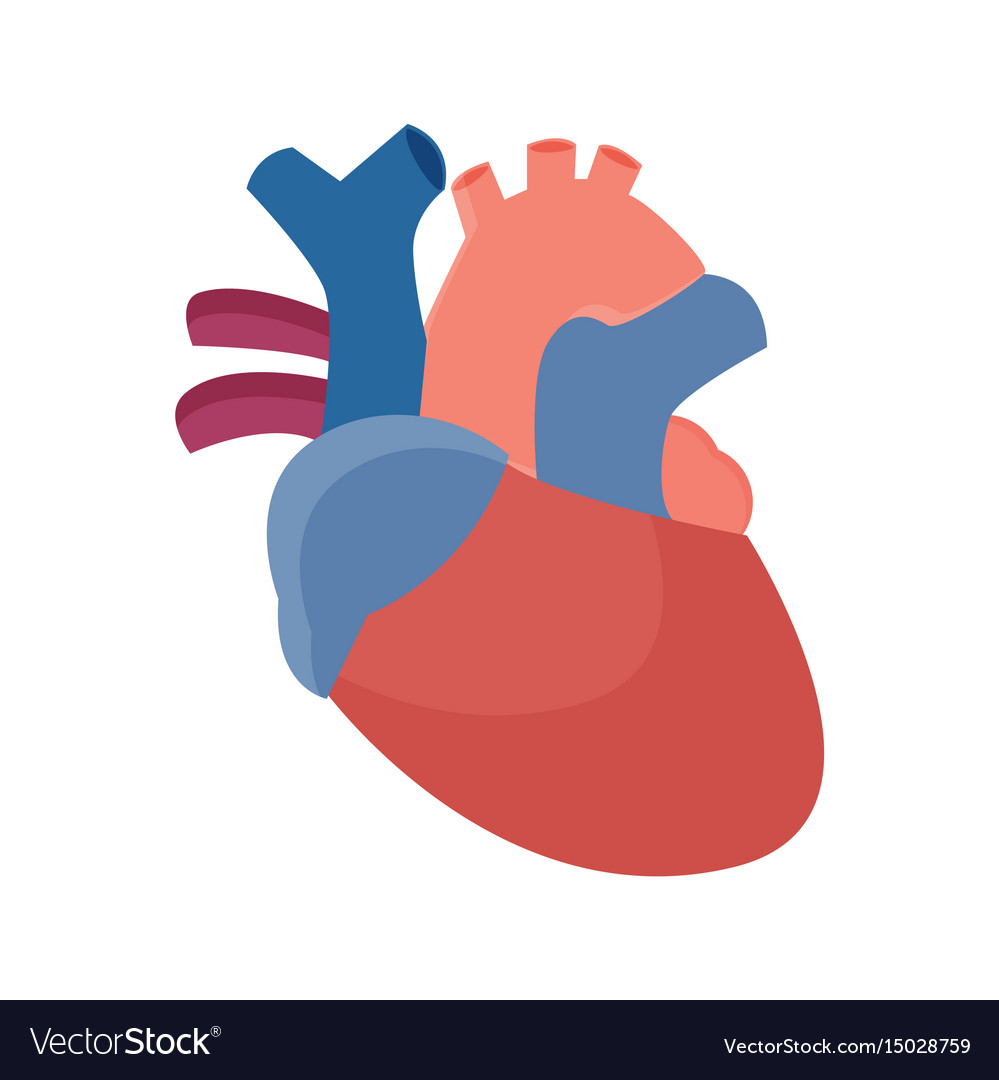 Anatomical Heart Flat Graphic Royalty Free Vector Image