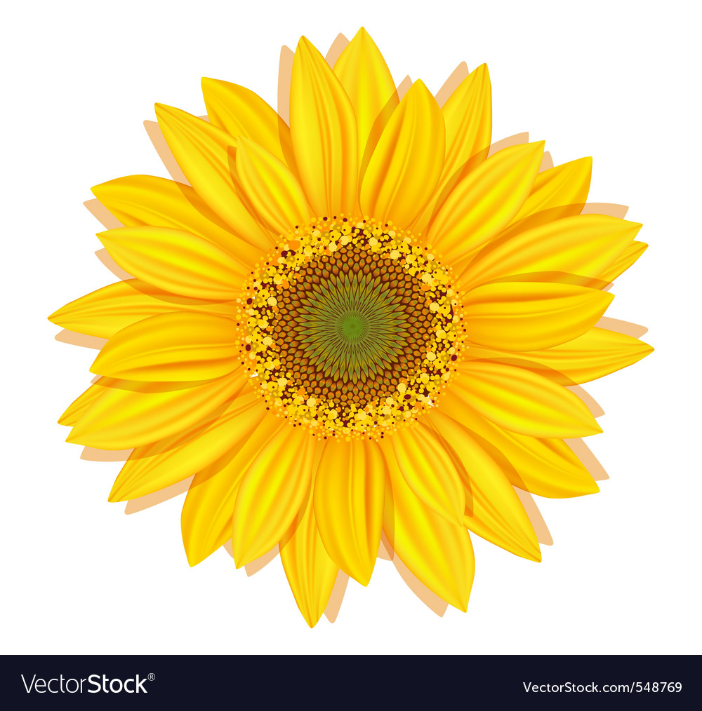 sunflower royalty free vector image vectorstock rh vectorstock com sunflower vector clip art sunflower vector clip art