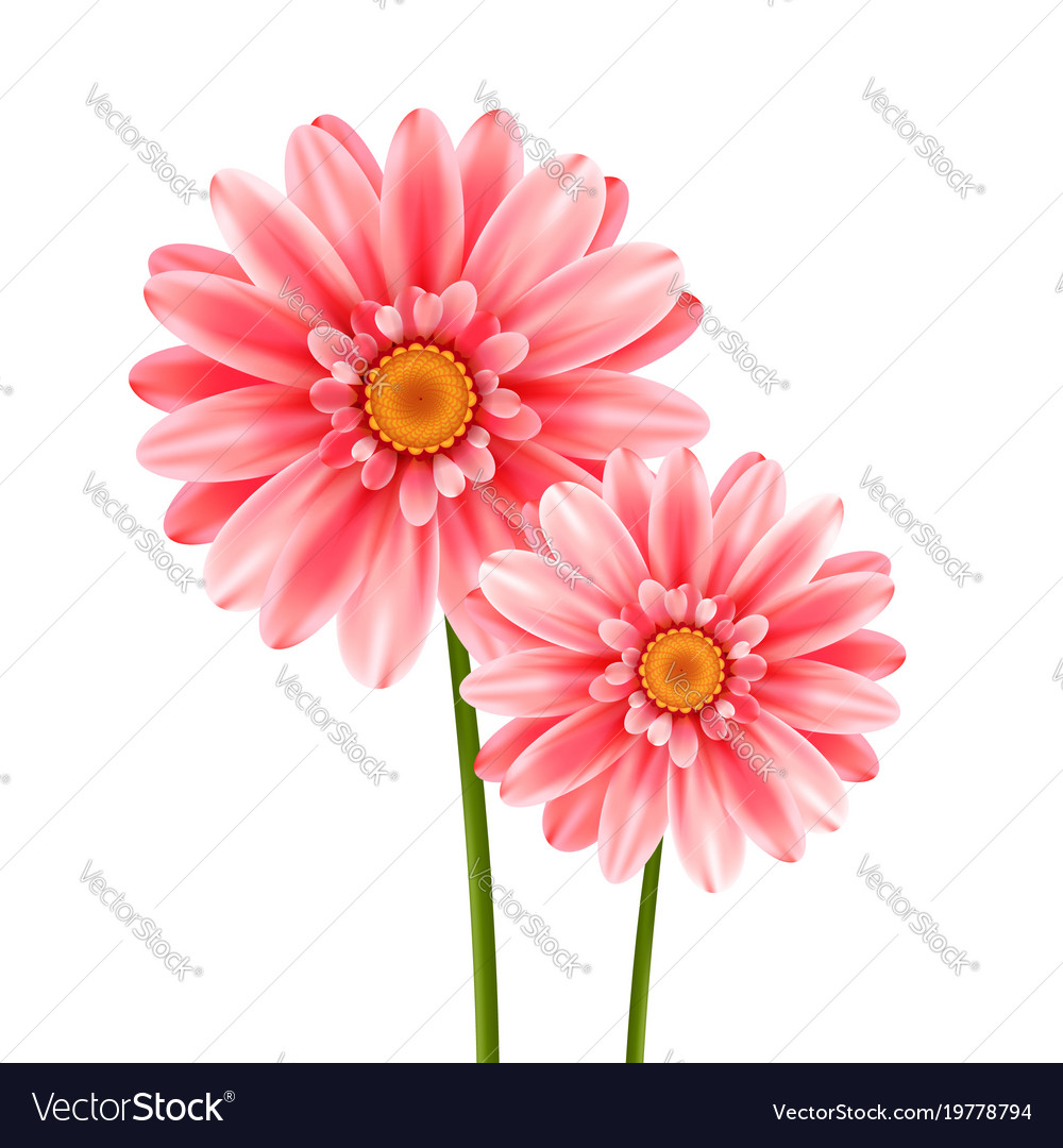 Gerbera flower isolated on white background vector image mightylinksfo