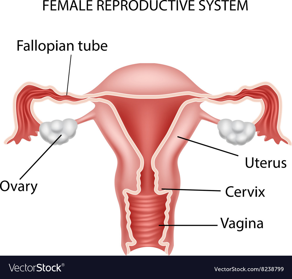 Cartoon Of Female Reproductive System Royalty Free Vector