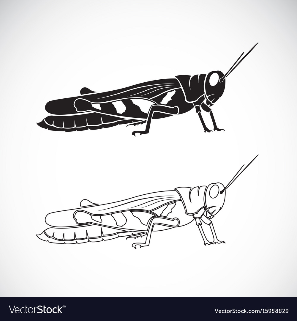 Grasshopper on white background insect animal