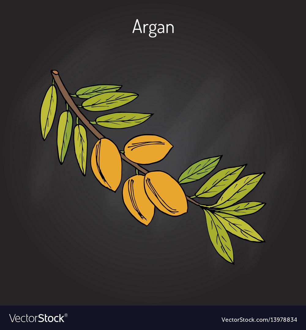 Argan argania spinosa