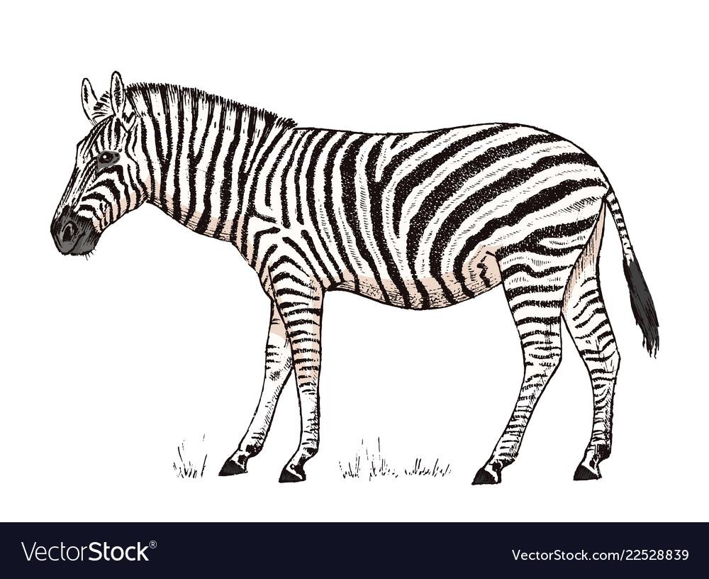 African zebra wild animal on white background