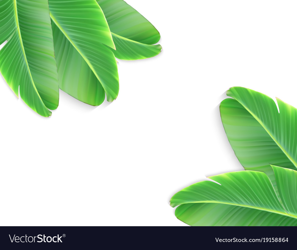 A naturalistic leaf of a banana palm with flower vector image