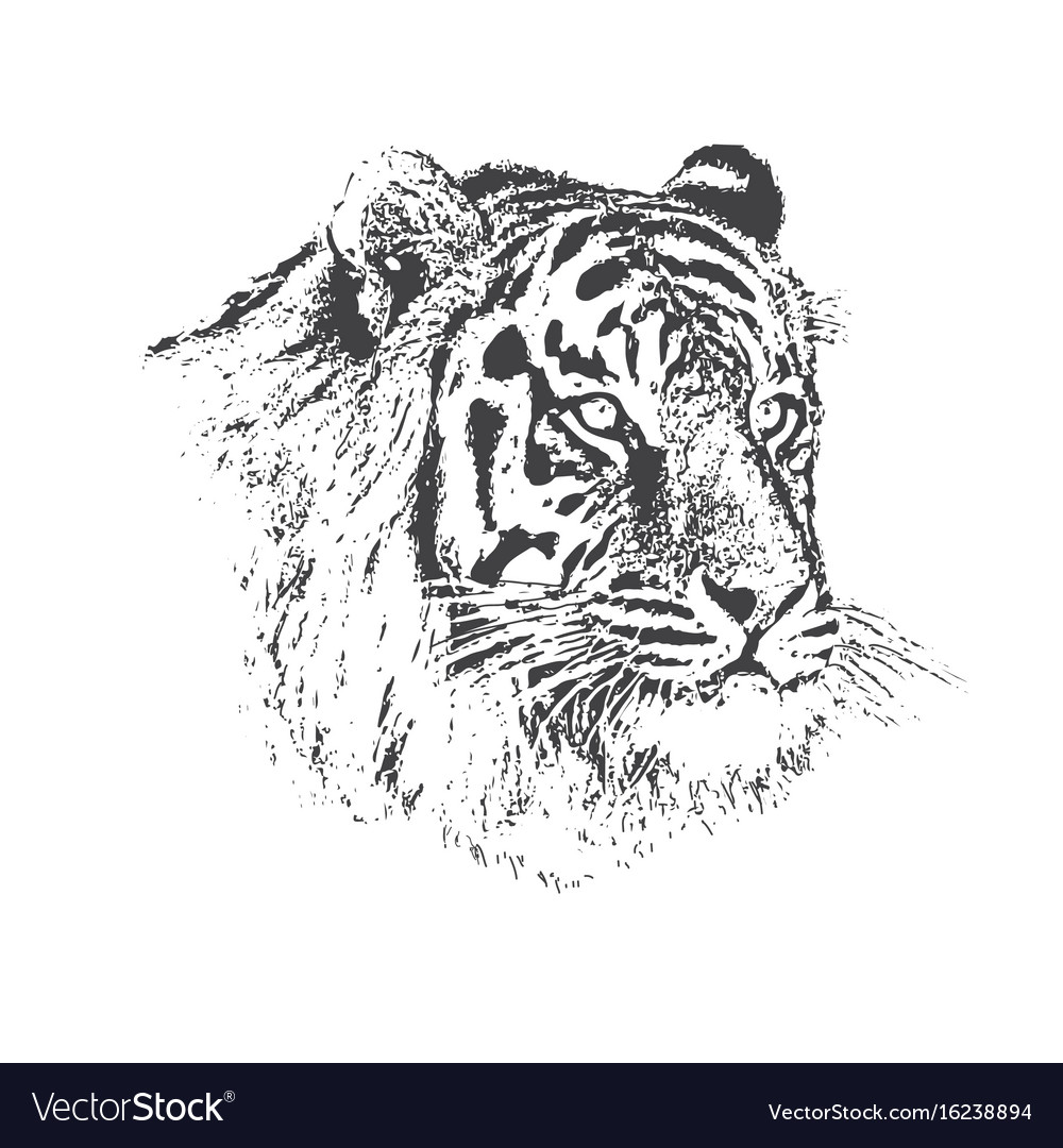 Face of calm tiger vector image