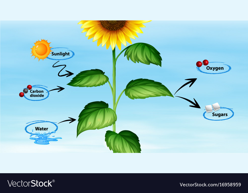 Diagram showing sunflower and photo synthesis Vector Image
