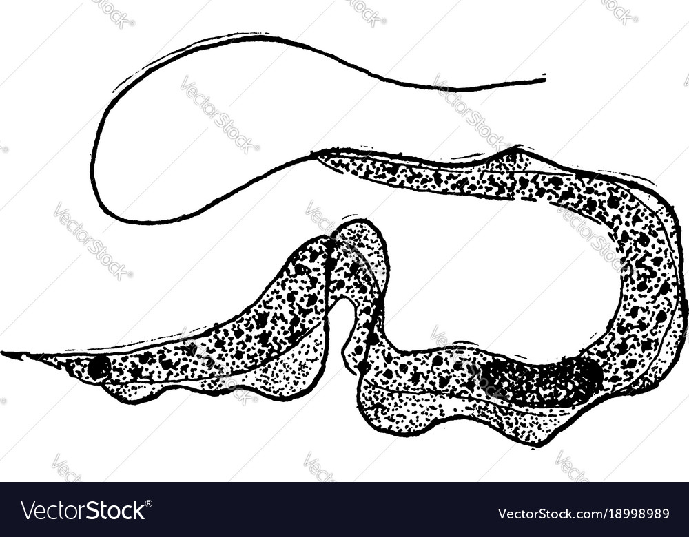 Trypanosoma vintage